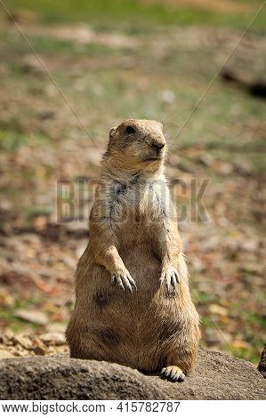Inquisitive Expression Of An Adult Black-tailed Prairie Dog Standing On Its Hind Legs Staring Into S
