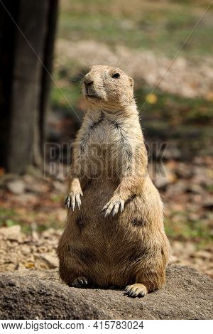 Indifferent Expression Of An Adult Black-tailed Prairie Dog Standing On Its Hind Legs Staring Into S