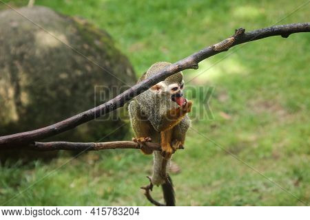 Cute Young Common Squirrel Monkey Eats A Fruit And Vitamin Bomb In The Form Of A Watermelon. Guianan