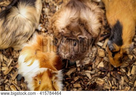 Group Of Guinea Pigs Are Fighting Over Chips. The Hairy Cavia Porcellus From The Group Of Rodents Lo