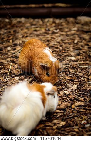 Two Cute Guinea Pig Cubs Run Around Their Paddock Looking For Food. Cavia Porcellus Cute Pet. A Dose