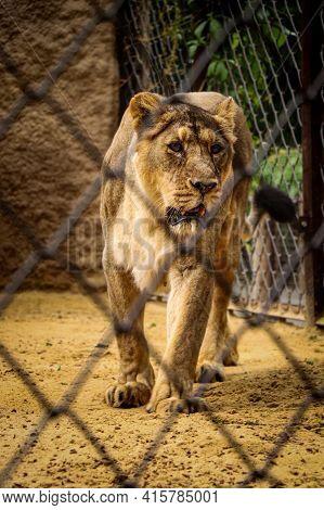 Female Asiatic Lion Looks With Interest Into The Lens Through Its Enclosure. Dangerous Cat Beast Dur