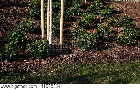 Flower Bed With Newly Planted Rhododendrons In A Regular Grid. The Flowerbed Is Mulched With Brown B