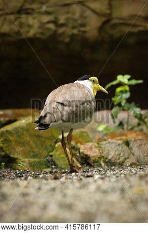 Leaving A Masked Lapwing Meeting With The Other Members Of The Paddock. Vanellus Miles Walks Like Th