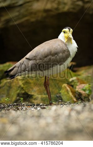 Surprising Expression Masked Lapwing Standing On A Path Between Plants. Vanellus Miles Endangered Sp
