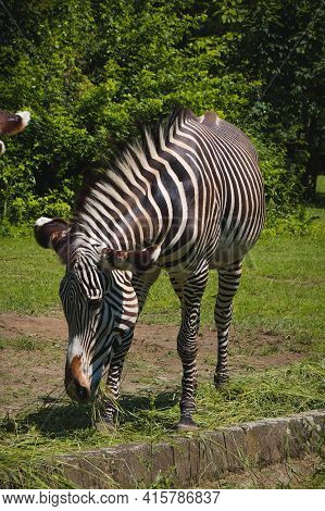 Beautiful Grévy's Zebra Eats Lunch In A Large Park. Imperial Zebra Eats A Piece Of Grass. Striped An