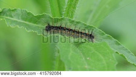 A Common Buckeye Caterpillar, Junonia Coenia, Close Up View