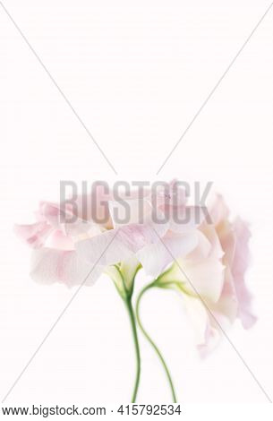 Delicate Flowers Of Pink Eustoma On A White Background. Close-up. Copy Space. Vertical Crop.