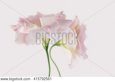 Delicate Flowers Of Pink Eustoma On A White Background. Close-up.