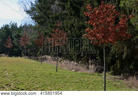 Alley Of Deciduous Trees In A Meadow Near The Forest. Is An Effort To Plant As Many Trees As Possibl