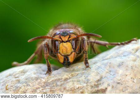 wild wasp in natural habitat (vespa cabro)