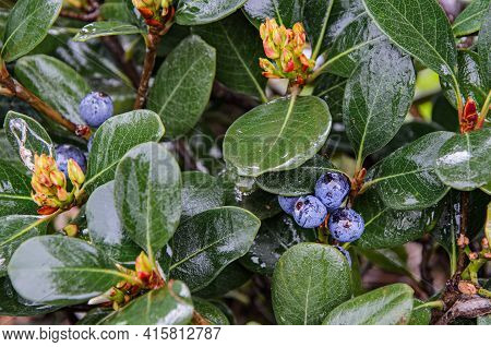 Close-up Of Leaves, Berries And Flowers Of An Ornamental Shrub After Rain. Wet Leaves Of A Tree. Blu
