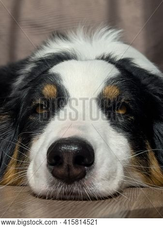 Australian Shepherd Dog portrait indoors. Happy Aussie at home.