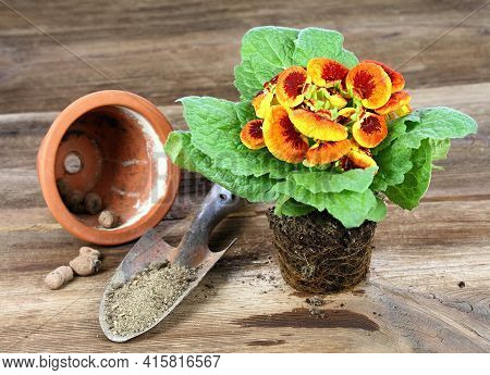 Replanting Of Flower Calceolaria Biflora On Brown Wooden Table. Also Called Slipper Flower, Native I