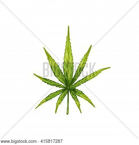 Marijuana Sativa Leaf. Hand Drawn Design Element Cannabis. Vintage Color Vector Engraving Illustrati
