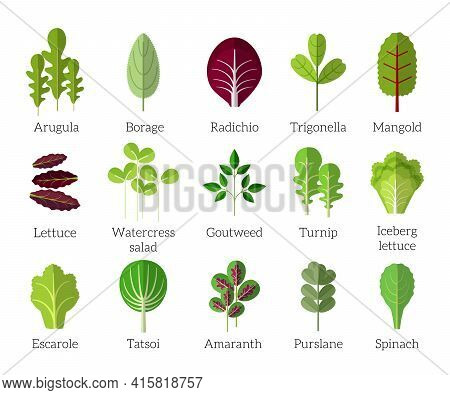 Salad Ingredients. Leafy Vegetables Vector Flat Icons Set. Organic And Vegetarian, Borage And Radich