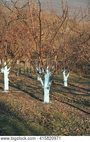 Cherry Trees In March Treated With Bordeaux Mixture To Combat Mildew.