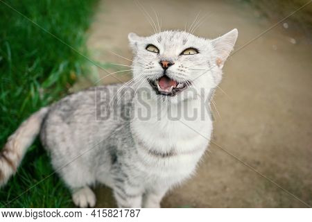 Gray Shorthair Cat Sits On The Street, Making A Funny Grimace. The Cat Smiles And Squints Her Eyes.