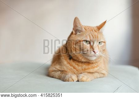 Pleased Orange Ginger Cat Sitting On The Chair And Having A Rest At Home. Copy Space. Funny Red Cat