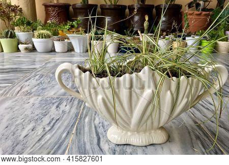 Ribbon Grass Variegated In A Ceramic Pot Or Ornamental Grass In A Decorative Planter