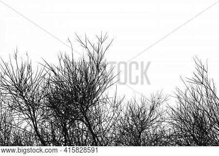 Spartium Junceum Plant Branches In The Wintertime. Black And White.