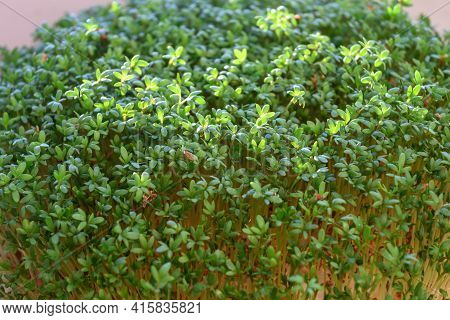 Young Green Cress Sprouts. Indoor Gardening Lifestyle.