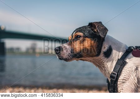 Jack Russell Terrier Dog Pin Profile On River Beach