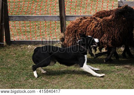 The Smartest Breed In The World. Black And White Smooth Haired Border Collie Learns To Herd A Flock
