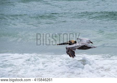 Brown Pelican Gliding Just Above The Surf Of The Gulf Of Mexico In Gulf Shores, Alabama, Usa