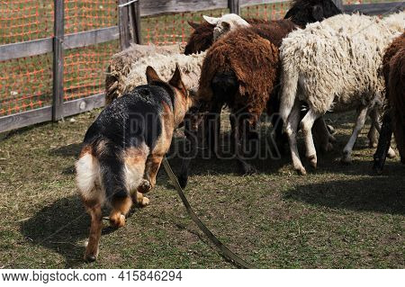 Sports Standard For Dogs On The Presence Of Herding Instinct. A Beautiful And Intelligent Adult Blac