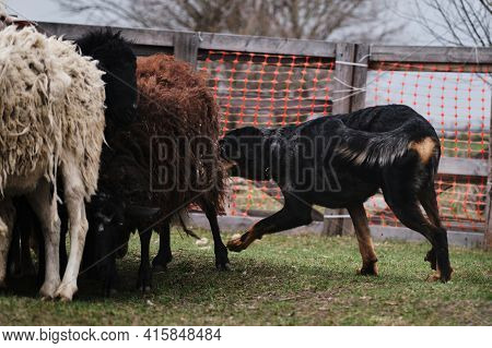 Beauceron Herds Sheep. Sports Standard For Dogs On The Presence Of Herding Instinct. A Beautiful And