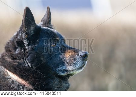 Close Up Portrait Of A Mixt Breed German Shepherd Looking Far Away