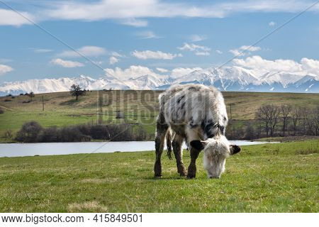 Young Calf Eating Grass In The Field With A Snowy Mountains And Cloudy Blue Sky As Background