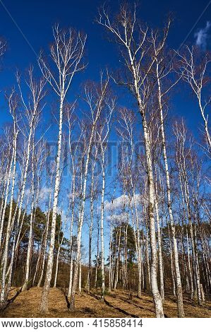 A Birch Grove Against The Background Of The Blue Sky In Poland