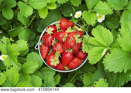 A Bucket Full Of Freshly Picked Strawberries In Summer Garden. Strawberry Berries In A Bucket On A S