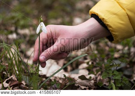 A Man Intends To Pluck A White Snowdrop, Spring. You Can Not Pick Rare Flowers