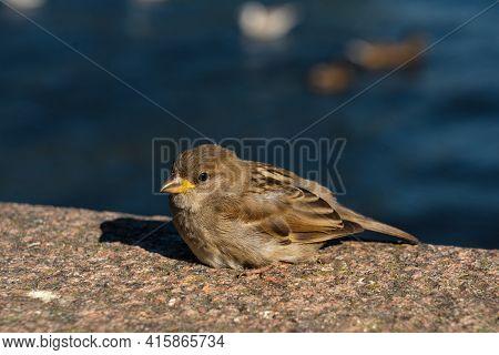 Detailed Close-up Portrait Of A House Sparrow Outdoors. Passer Domesticus. Little Nimble Sparrow Bas