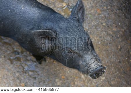 Dirty Wet Nose On A Cute Black Piglet.