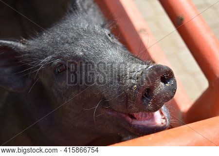 Sweet Smiling Face Of A Cute Black Piglet.