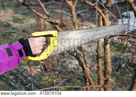 Spring Pruning Of Garden Trees. The Gardener Is Cutting The Branches With A Saw. Pruning Trees By Ha