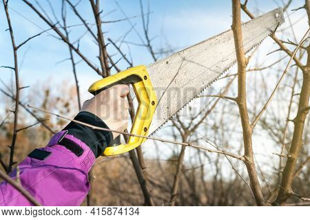 Spring Pruning Of Trees. Farmer Cuts The Branches With A Saw. Pruning Trees By Hand. Spring Work In