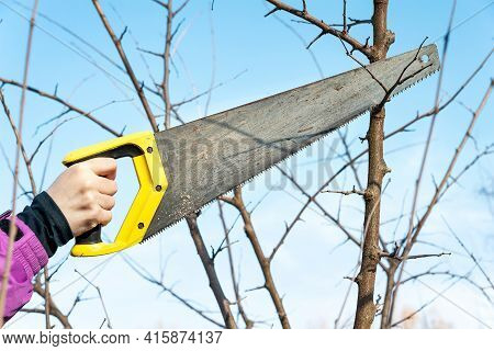 Spring Pruning Of Garden Trees. Woman Gardener Is Cutting The Branches With A Saw. Pruning Trees By