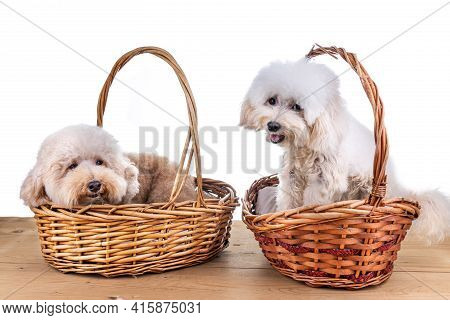 Two Cute Poodle Dogs Resting In Rattan Basket Bed On Wooden Floor