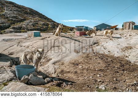 Greenland travel scene. Greenlandic sled dogs resting by shed during summer inactive before winter. Many doc packs and pup roaming on landscape. Arctic scenery landscape.