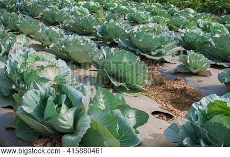 Cabbage Plantation Using Modern Technology In Horticulture University