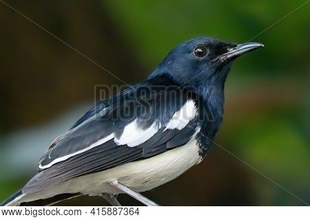 Close Up Oriental Magpie Robin Isolated On Background