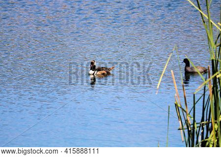 Birds Native To Freshwater Waterways Resting On A Lake Besides Lush Tallgrass Plants Taken At A Ripa