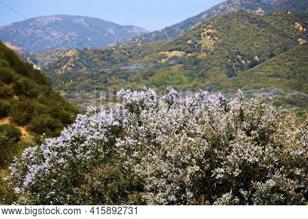 Ceanothus Chaparral Plant Flower Blossoms During Spring Also Known As The California Lilac On Rural