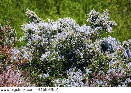Ceanothus Chaparral Plant Flower Blossoms Also Called The California Lilac During Spring Taken At A