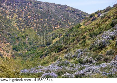 Ceanothus Chaparral Plant Flower Blossoms Also Known As The California Lilac During Spring On An Ari